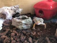 Adult female Leopard Gecko with vivarium and full set up