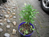 Plant for sale-A wallflower plant in a 16 cm pot