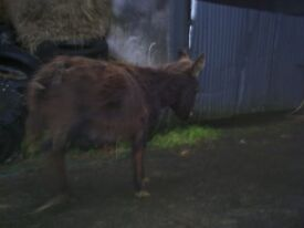 for sale filly donkey foal