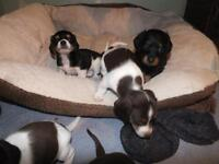 Long& Short hair Dachshund puppies- ONLY1 LEFT!