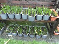 tete et tete dwarf narcissi daffodils flowers hardy perennial patio garden