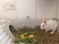 White Rabbit (Bunny) Needs a new home