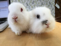 Beautiful Pure Lionhead Rabbits White and Black - £20! AMAZING! READY NOW!