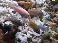 Cichlids cichlid tropical fish Malawi