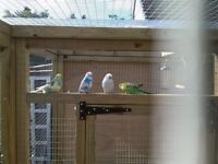 Budgies for sale babies