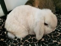 Pet mini Lop white rabbit for sale with large 2 storey shed