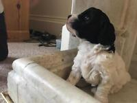 Beautiful Cockapoo puppies- READY NOW