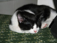 Black and White Kitten looking for a new home