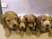 Cockerpoo puppies for sale 2 girls 4 boys.