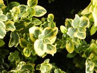 SHRUB WITH BRIGHT YELLOW VARIEGATED LEAF