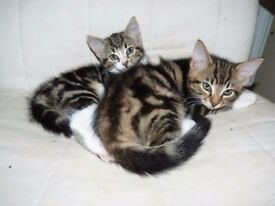 For sale2 half bengal kittens.Nice cats 1 boys 1 girls. Fully litter trained and very clean