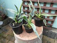 Agave Americana - plants for indoors or outdoors