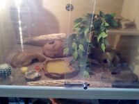 **Two female leopard geckos with full set up **