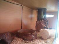 pastel royal python & vivarium