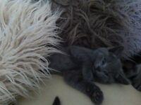 Half Blue Persian Kitten