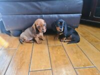 Miniature Dachshund puppies all girls
