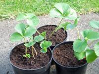 Strawberry Plants 2Lt Pots at £2.00 each