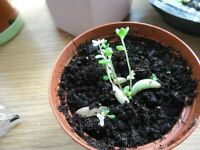 Houseplants-8 jelly bean plants in a small plastic pot