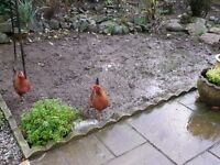 BANTAMS- 1 BUFF ROCK & 2 WELSUMERS BORN LAST YEAR & LAYING WELL £50 or £20each