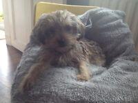 Male shih tzu X Yorkshire terrier puppy