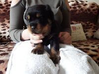 rottweiler pups ready 24/07/2017 8 weeks old