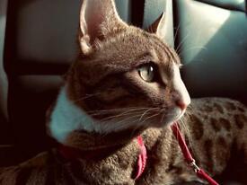Bengal cross cat