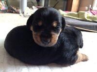 Lancashire Heelers/Terrier Puppies X 5