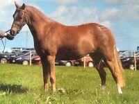 Striking Welsh part bred chestnut filly