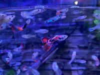 Guppies & corydora - tropical fish