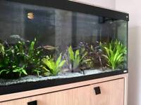 Fluval Roma 240 fish tank full set up