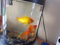 2x large goldfish inc tank