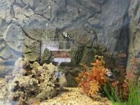 Fish breeding pairs of convicts