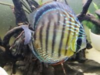 Large Wild Orange Oriximina Discus Fish Approx 6.5 - 7 inches