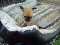 All Sold Chihuahua puppies