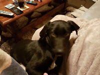 Weimaraner X female puppy for sale