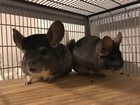 New loving home wanted for 2 male Chinchillas