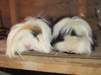 Beautiful Long Haired Guinea Pigs