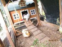 chickens, coop and run