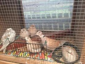4 doves for £50
