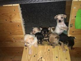 Jackaranian Pups