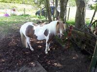 10hh skewbald mare 8 years