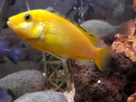 Malawi cichlids for sale £2 each or 6 for £10)