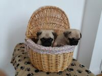 Two Lovely Pug Puppies For Sale