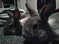 chinchilla coat rabbits