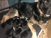Only one stunning german shepherd pup (male)