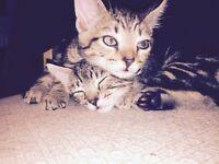 Tabby kittens for sale!