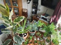 Plants Healthy ORGANIC in beautiful pots, Aloe Vera, Spider,succulent cactus, Rosemary, etc, FROM £2
