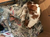 Adorable Cavalier King Charles Spaniel BOY Puppy