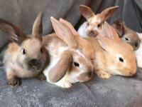 Rex bunnies