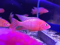 Malawi Chilid tropical fishes fish tank aquarium Leicester